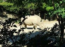 Spionera på noshörning fotografering för bildbyråer