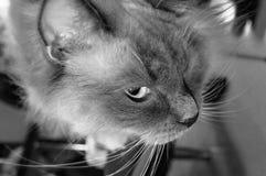 Spionerend ragdoll zwart-witte kat Royalty-vrije Stock Fotografie