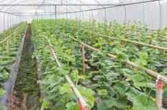 Spira barn av japannessmelon eller göra grön melon, eller cantaloupmelonmelon planterar att växa i växthus Fotografering för Bildbyråer