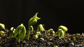 Spira Bean Seeds Growing i jordning Mat som spirar våren Timelapse arkivfilmer