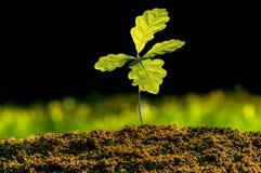 Spira ekväxten, litet träd fotografering för bildbyråer