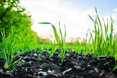 Spira fältet av majs, havre Royaltyfria Bilder