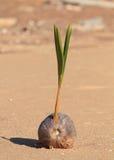 Spira för kokosnöt Royaltyfria Foton