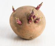 Spira för potatisar som är klart för att plantera Närbild Arkivfoto