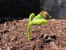 Spira gröna Bean Seedling arkivfoto