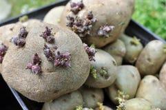 Spira potatisar Arkivbilder