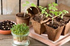Spira tomatplantor och krasse på fönsterbrädan arkivfoto
