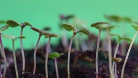 Spira underbara gröna groddar för naturväxtevolution från kärna ur att växa i jordåkerbruk begrepps-, vår- eller sommartid stock video