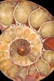 Spiraalvormig Fossiel Stock Foto