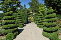 Spiraalvormige jeneverbessenbomen in roze tuin Stock Foto's