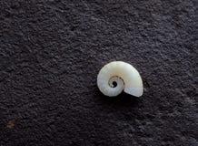 Spiraalvormige Overzeese shell Royalty-vrije Stock Foto's