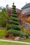 Spiraalvormige Topiary Boom in Huis Front Yard stock foto