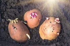 Spirade potatisar på landet, agrarisk bakgrund Arkivfoto
