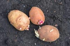 Spirade potatisar på landet, agrarisk bakgrund Royaltyfria Foton