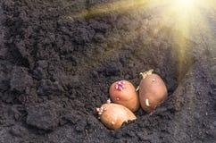 Spirade potatisar på landet, agrarisk bakgrund Arkivbild