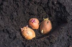 Spirade potatisar på landet, agrarisk bakgrund Fotografering för Bildbyråer