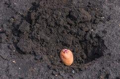 Spirade potatisar på landet, agrarisk bakgrund Arkivbilder