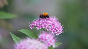 Spiraea, αποβαλλόμενοι διακοσμητικοί θάμνοι της ρόδινης οικογένειας Bumblebee στροφές απόθεμα βίντεο