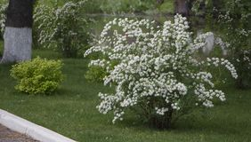Spiraea, цветя куст на Spiraea зеленой травы, цветя куст на зеленой траве Использованный в дизайне ландшафта стоковые изображения