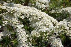 Spiraea. Alpine spring flower - white flowering shrub Stock Image