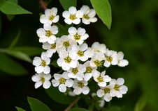 Spiraea Royalty Free Stock Photos