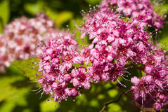 Spiraea Royalty Free Stock Images