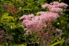 Spiraea Stock Photos