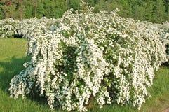 Spiraea. Alpine spring flower - white flowering shrub Royalty Free Stock Image