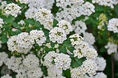 Spiraea. Alpine spring flower - white flowering shrub Stock Photography