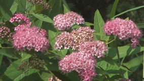 Spiraea. stock video footage