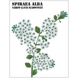 Spiraea Alba Stock Photography