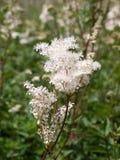 Spiraea alba meadowsweet flower bunch Royalty Free Stock Image