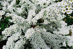 Spiraea alpine (meadowsweet) spring flower, white blossoming shrub with beetle Stock Images