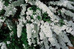 Spiraea alpine (meadowsweet) spring flower, white blossoming shrub Royalty Free Stock Image