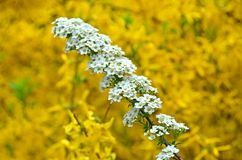 Spiraea Royalty Free Stock Photography
