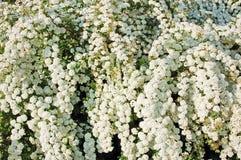 Spiraea. Alpine spring flower - white flowering shrub Royalty Free Stock Images