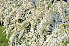 Spiraea alpine spring flower. White flowering shrub Royalty Free Stock Image