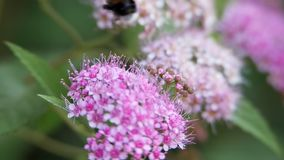 Spiraea, arbusti ornamentali decidui della famiglia rosa Giri del bombo video d archivio
