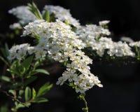 Spiraea arguta `Bridal Wreath` royalty free stock image