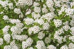 Spiraea blossom Stock Image