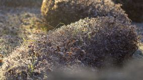 Spiraea brilhante colorido dos arbustos do outono das folhas na geada branca fotografia de stock