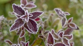 Spiraea brilhante colorido dos arbustos do outono das folhas na geada branca imagens de stock royalty free