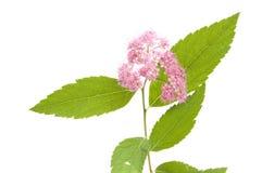 Spiraea x bumalda, isolated. Spiraea x bumalda branch, isolated on white background stock photography