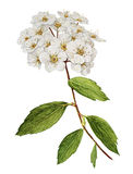 Spiraea bush watercolor. Spiraea blossom bush botanical watercolor Stock Photos