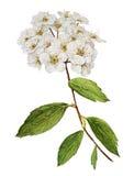 Spiraea bush watercolor. Spiraea blossom bush botanical watercolor stock illustration
