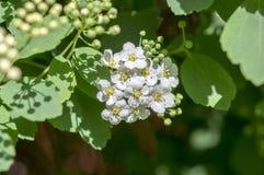 Spiraea cantoniensis dekorativer blühender Strauch mit weißen Blumen auf Niederlassungen, Spiraea vanhouttei in der Blüte lizenzfreie stockfotos