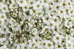 Spiraea x cinerea Royalty Free Stock Photos