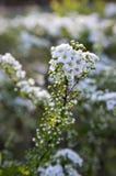 Spiraea cinerea in fioritura, arbusto di Gray Grefsheim con i fiori bianchi alla luce magica di mattina, rugiada sui fiori Immagini Stock Libere da Diritti