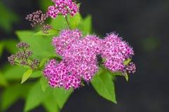 Spiraea de branche fleurissant dans le jardin d'été Image libre de droits