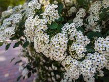 Spiraea fleurissant de ressort du buisson décoratif images libres de droits